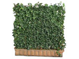 Hedera Helix Woerner Green Screen Hedge Pot