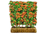 Pyracantha Green Screen Hedge Pot